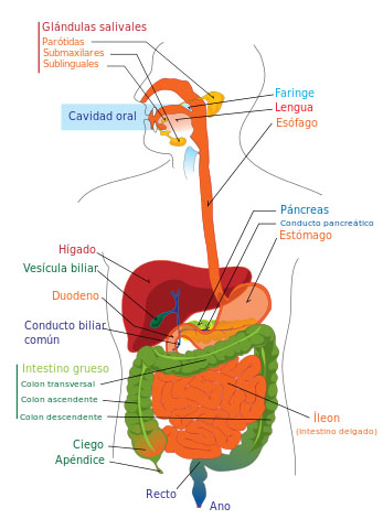 Autor/a: Mariana Ruiz (English version); User:Bibi Saint-Pol, Jmarchn (Spanish version, translation by User:AlvaroRG) - Own work; translated from Image:Digestive system diagram en.svg Fuente: Wikipedia