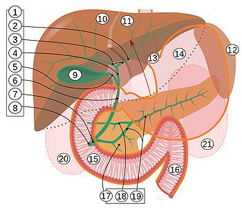 15. Duodeno Autor/a de la imagen: Jmarchn Fuente: Wikipedia
