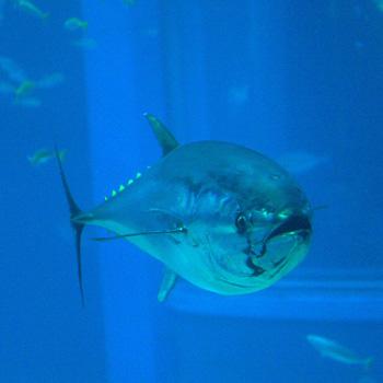 Atún rojo Autor/a de la imagen: OpenCage Fuente: Wikipedia