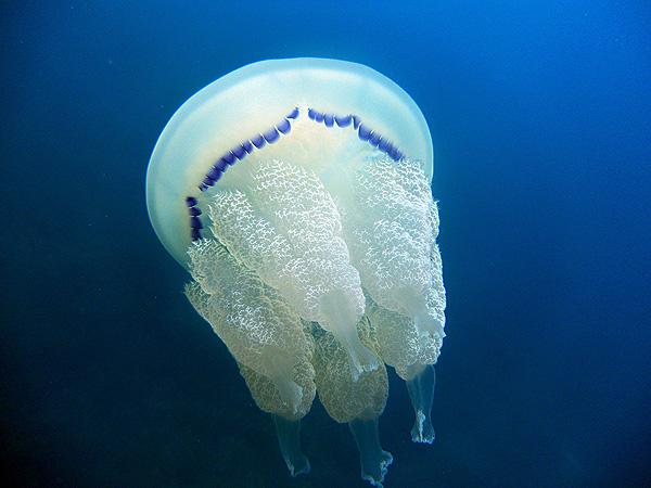 Medusa Rhizostoma pulmo (Favignana, Sicily) Autor/a de la imagen: tato grasso Fuente: Wikimedia Commons