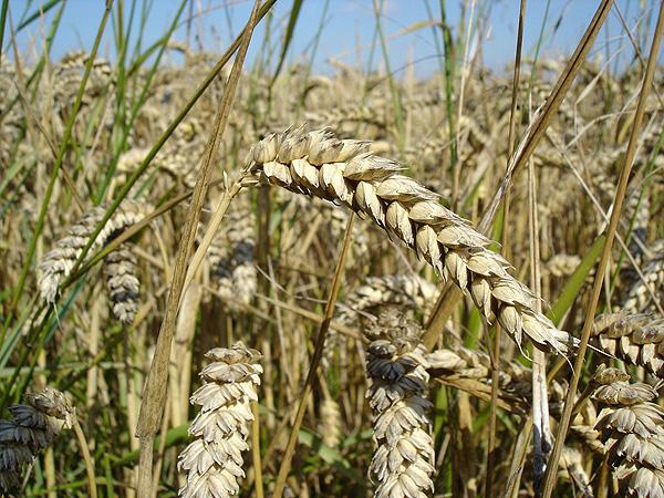 El gluten se encuentra en productos como el trigo Autor/a de la imagen: User: Bluemoose Fuente: Wikipedia