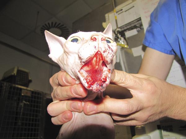 Desgarro mandibular con exposición de las ramas mandibulares en su porción horizontal de forma bilateral. Gato de raza Sphinx de 9 meses de edad Fuente: Joaquín J. Sopena