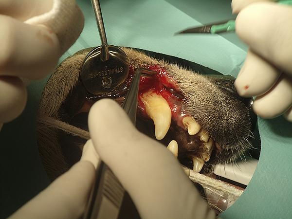 Realización de un colgajo gingival en un paciente canino adulto como consecuencia de una lesión traumática crónica con pérdida de sustancia labial y retracción gingival secundaria Fuente: Joaquín J. Sopena