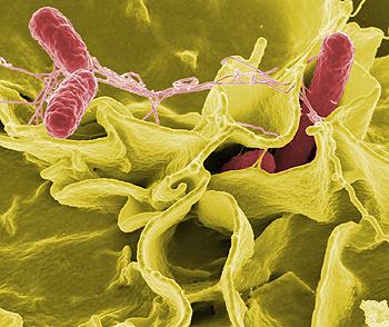 Microscopía electrónica de Salmonella typhimurium Autor/a de la imagen: Rocky Mountain Laboratories, NIAID, NIH (User: Taragui) Fuente:Wikpiedia