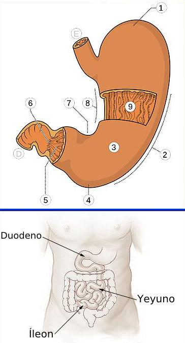 IMAGEN DE ARRIBA Estructuras del estómago: 1. Fundus 2. Curvatura mayor 3. Cuerpo 4. Antro pílorico 5. Región pilórica 6. Canal pilórico 7. Incisura angular 8. Curvatura menor 9. Pliegues gástricos E. Esófago D. Duodeno Autor/a de la imagen: Olek Remesz (wiki-pl: Orem, commons: Orem) - Own work, based on Image:Illu stomach.jpg Fuente: Wikipedia …………………………………….. IMAGEN DE ABAJO El yeyuno en el intestino delgado Autor/a de la imagen: Illu_small_intestine_català.png: ToNToNi derivative work: Ortisa (talk) - Illu_small_intestine_català.png Fuente: Wikipedia