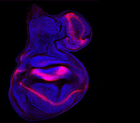 Ala de mosca en desarrollo con malformaciones. La activación, fuera de lugar, de la vía de señalización celular JAK/STAT duplica la estructura del ala Fuente: C. Recasens, IRB Barcelona