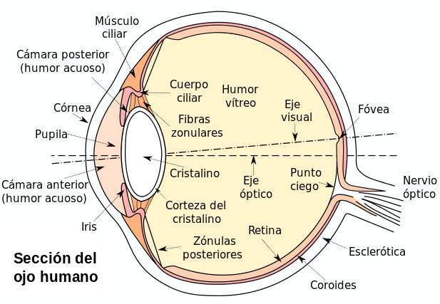 Esquema de la sección del ojo humano Autoría: Based on Eyesection.gif, by en:User_talk:Sathiyam2k. Vectorization and some modifications by user:ZStardust - self-work Section view of the human eye. Based on Image:Eyesection.gif. Labels in Spanish Fuente: Wikipedia