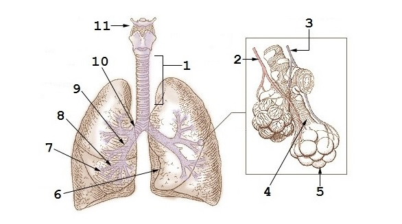 1:Tráquea 2:Arteria pulmonar 3:Vena pulmonar 4:Bronquiolo terminal 5:Alvéolos 6:Corte cardíaco 7:Bronquios terciarios o segmentados 8:Bronquios secundarios o lobales 9:Bronquio principal 10:Bifurcación traquial o carina 11:Laringe Autor/a: An officer or employee of the United States Government, as described at File:Illu bronchi lungs.jpg, with modifications by User:Adrian J. Hunter - Based on File:Illu bronchi lungs.jpg which is public domain as described at that file's description page. Este archivo deriva de:  Illu bronchi lungs.jpg The original PD image is modified by replacing the text labels with numerical labels, using the same numbering scheme as File:Diagrama de los pulmones.svg.  Fuente: Wikipedia