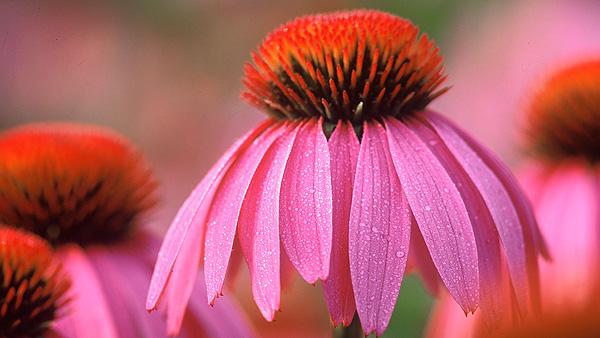 Echinacea purpurea  Fuente: A.Vogel / COM SALUD