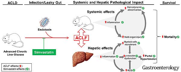 Resumen gráfico del estudio, fisiopatología del ACLF y efectos protectores de simvastatina Fuente: Hospital Clínic