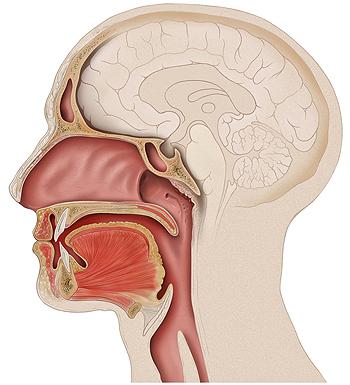 Cavidad oral-bucal Autor/a de la imagen: De Patrick J. Lynch, medical illustrator  Fuente: Wikipedia