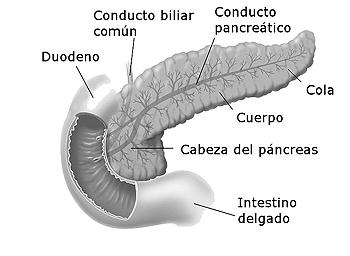 Anatomía del páncreas con su distribución en cabeza, cuerpo y cola Autor/a de la imagen: Modificado de Don Blis (artist) - Wikimedia Commons Duodenumandpancreas.jpg. User: Posible2006  Fuente: Wikipedia https://es.wikipedia.org/wiki/P%C3%A1ncreas#/media/File:Duodenumandpancreas_es.jpg