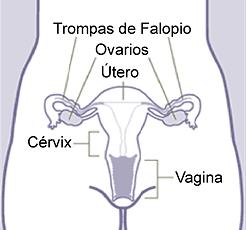 Esquema del aparato reproductor femenino Fuente: FemOS (User: Lobillo) / Wikipedia