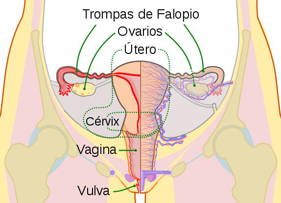Dibujo esquemático de los órganos reproductores femeninos. Vista frontal (Imagen modificada) Autor/a de la imagen original: KES47 - File:Scheme female reproductive system-en.svg Fuente: Wikipedia https://es.wikipedia.org/wiki/Vagina#/media/File:Scheme_female_reproductive_system-es.svg