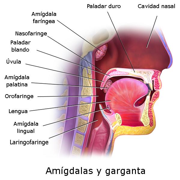 Anatomía de la boca y faringe Autor/a de la imagen: Modificado de Blausen - WIKIMEDIA COMMONS. File:Blausen 0861 Tonsils&Throat Anatomy2.png Fuente: Wikipedia