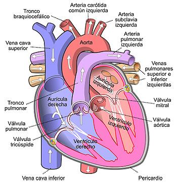 Vista frontal de un corazón humano. Las flechas blancas indican el flujo normal de la sangre Autor/a de la imagen: Diagram_of_the_human_heart_(cropped)_pt.svg: Rhcastilhos derivative work: Ortisa (talk) - Este archivo deriva de: Diagram of the human heart (cropped) pt.svg Fuente: Wikipedia