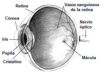 Sección de un ojo humano Autor/a de la imagen: Modificado de: Human_eye.jpg (14KB, MIME type: image/jpeg) (Wikipedia commons) Human eye cross-sectional view grayscale Copyright: public domain, credit to NIH en:National Eye Institute requested. Original source: http://www.nei.nih.gov/health/macularhole/index.asp. Ojo_humano.jpg: Pixel derivative work: Taty2007 (talk) - Ojo_humano.jpg Fuente: Wikipedia