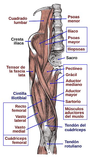 Psoas ilíaco (músculo iliopsoas, o psoas-ilíaco o psoasilíaco) etiquetado arriba a la izquierda  Músculos de la cara anterior del muslo y pelvis, adaptación de los dibujos de la Anatomía de Gray Autor/a de la imagen: Jmarchn - Trabajo propio, basado en: Gray430.png Fuente: Wikipedia