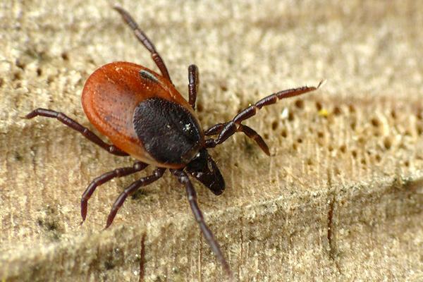 Ixodes ricinus Autor/a de la imagen: WWalas Fuente: Wikipedia