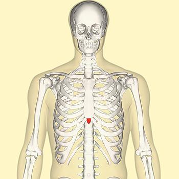 Apófisis (proceso) xifoides, o simplemente xifoides (en rojo) Autor/a de la imagen: Anatomography - en:Anatomography (setting page of this image) Fuente: Wikipedia