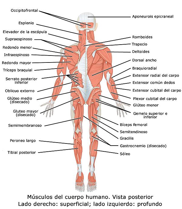 Vista posterior del cuerpo humano en la que se representan los principales músculos esqueléticos (Imagen modificada) Autor/a del original: OpenStax - WIKIMEDIA COMMONS Fuente: Wikipedia